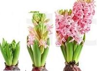 hyacinth plant stages of growth